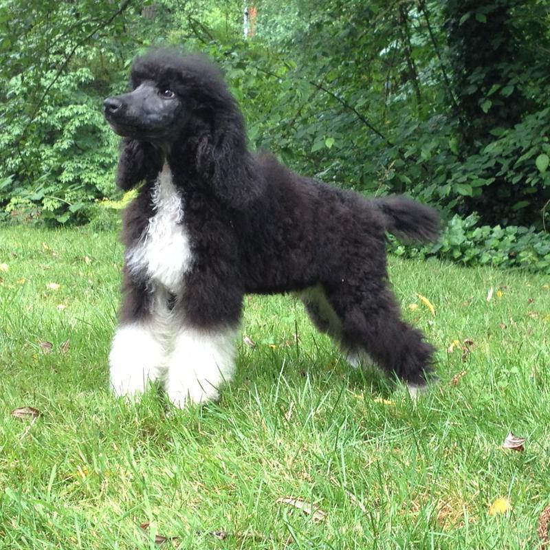 Parti Poodle Breeders Standard Parti Poodle Puppies For Sale