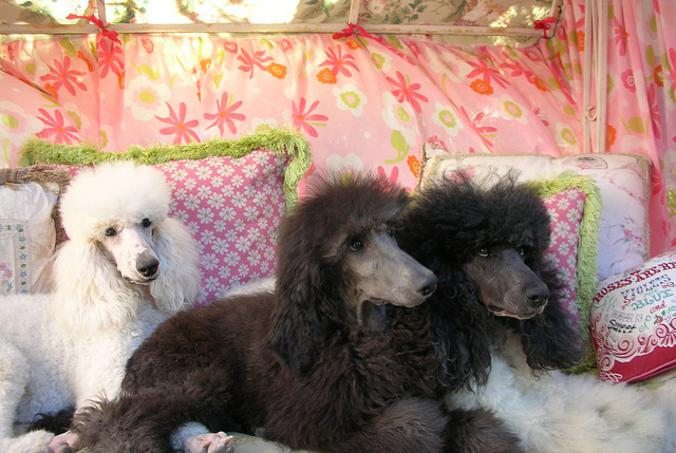Standard Poodle Puppies For Sale Color Parti And Tuxedo