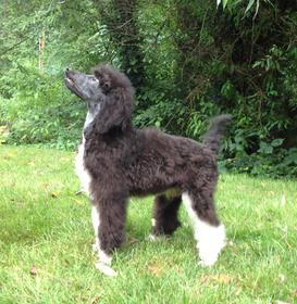 Parti Poodle Breeders - Standard Parti Poodle Puppies For