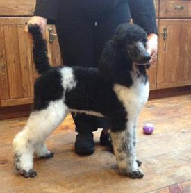 Parti Poodle Breeders - Standard Parti Poodle Puppies For Sale